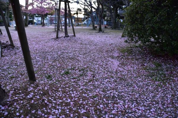 2020-03-08 雨上がりの河津桜 153.JPG