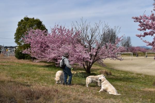 2020-03-09 犬とサクラ 003.JPG
