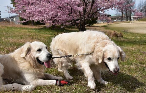 2020-03-09 犬とサクラ 004.JPG
