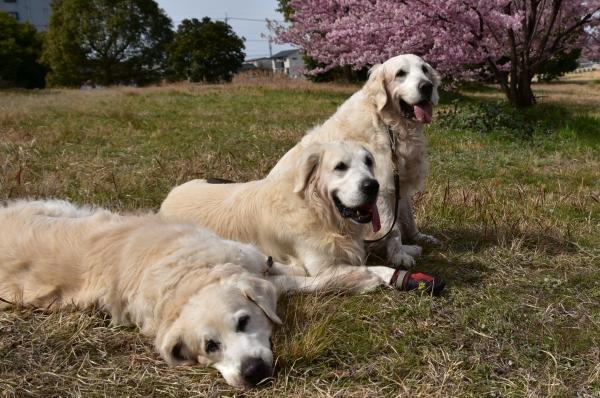 2020-03-09 犬とサクラ 009.JPG