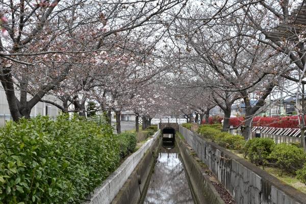 2020-03-28 桜咲く 025.JPG