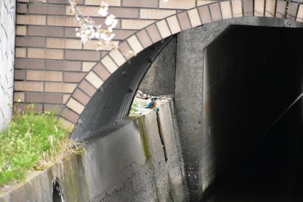 2020-03-28 桜咲く 029.JPG