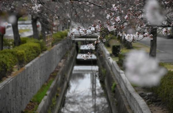 2020-03-28 桜咲く 033.JPG
