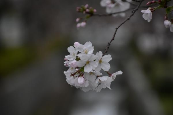 2020-03-28 桜咲く 035.JPG