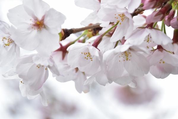 2020-03-28 桜咲く 066.JPG