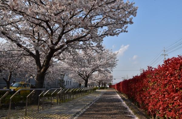 2020-04-08 夕食センターの桜 162.JPG
