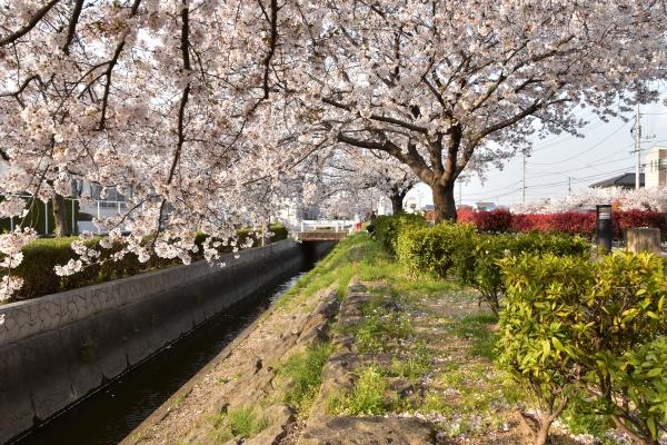 2020-04-08 夕食センターの桜 323.JPG