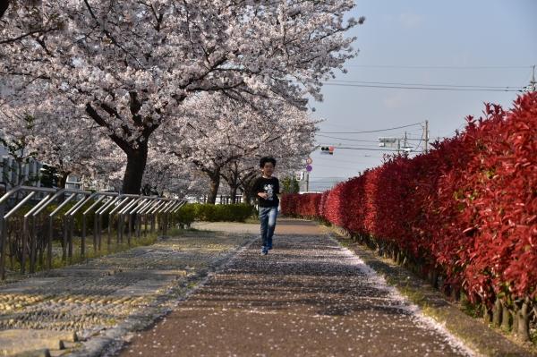 2020-04-08 夕食センターの桜 112.JPG
