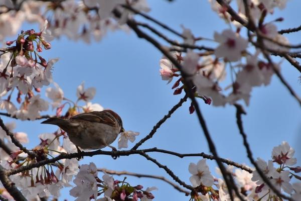 2020-04-08 夕食センターの桜 190.JPG