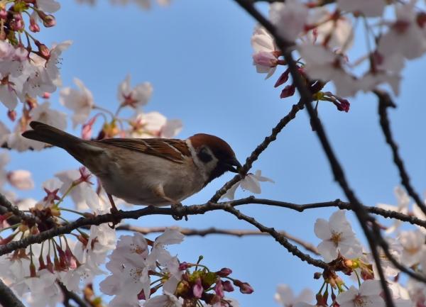 2020-04-08 夕食センターの桜 196.JPG