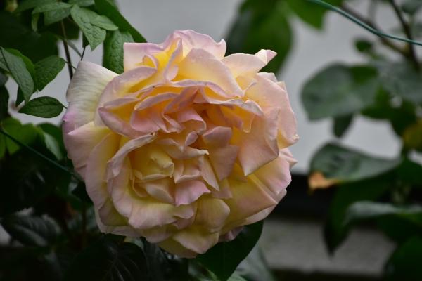 2020-05-04 バラの花 005.JPG