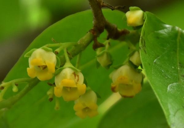 2020-05-15 柿の花 005.JPG