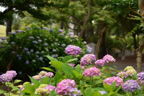 2020-06-03 紫陽花 061.JPG