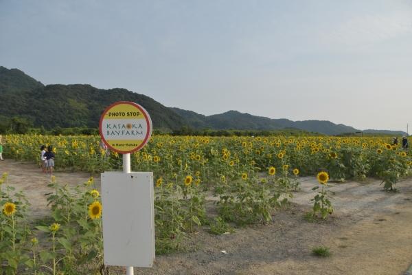 2020-08-02 笠岡ヒマワリ1 243.JPG
