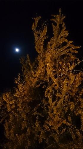イチョウと月|熊本県南小国町の紅葉