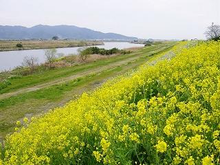 菜の花と高良山遠望320