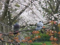 公園の桜と鳩