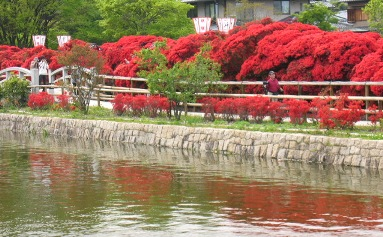 中堤のキリシマツツジ、八条ヶ池
