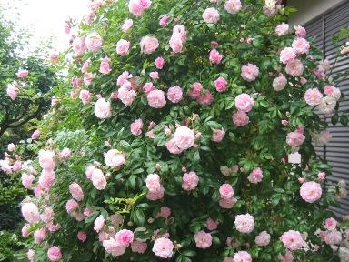 つるバラ春がすみ