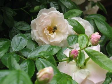 つるバラ春がすみと蜂