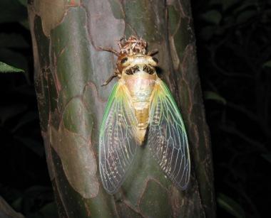 カリンの幹で羽化した蝉