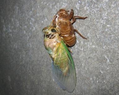 羽化した蝉、横から