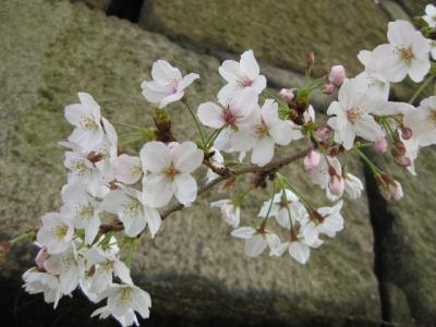 石垣と桜 1