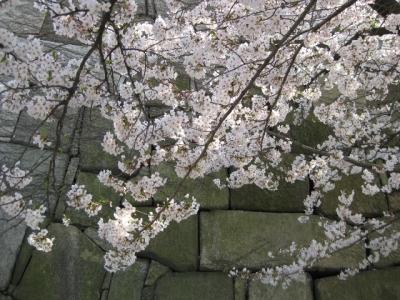 石垣と桜 2