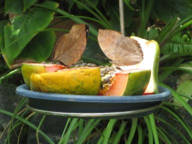 パパイア果汁を吸うコノハチョウ