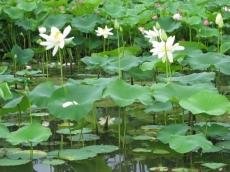 蓮池 白い蓮の花
