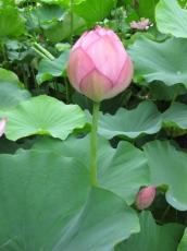 蓮の花の蕾ふくらむ