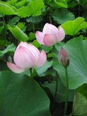 蓮の花 半開きと蕾