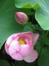 蓮の花開きかけと蕾