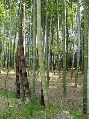 孟宗竹・筍  伊丹昆陽池公園で 2009.5.2