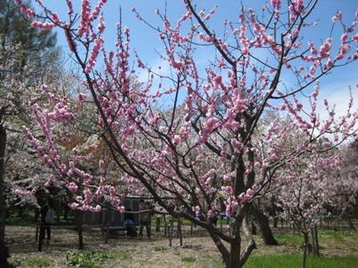 梅・桃・桜