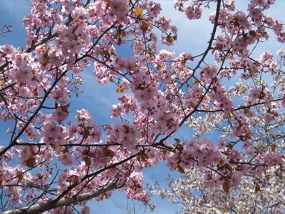 北海道神宮境内の桜