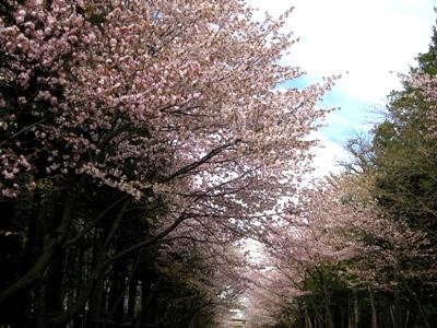 北海道神宮参道の桜並木
