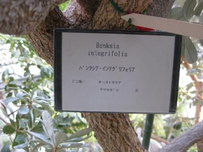 バンクシア・インテグリフォリアの幹、説明板