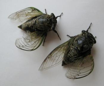 羽化失敗の蝉
