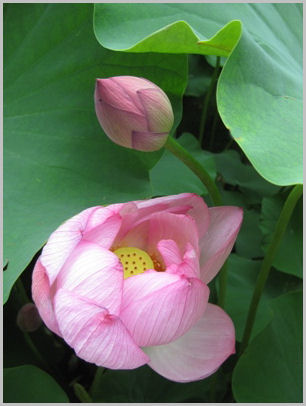 ハスの花 2009.7.2 万博公園・日本庭園