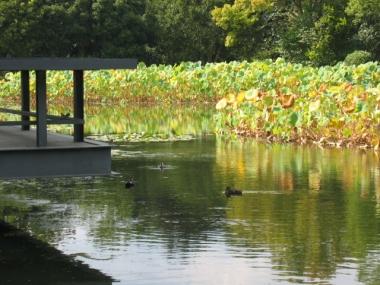 ハス池に秋