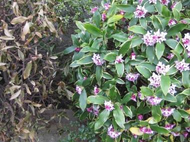 沈丁花と枯れた沈丁花