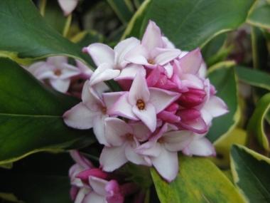 沈丁花(ジンチョウゲ)の花