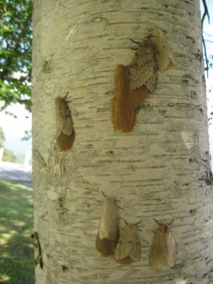 木の幹にとまったマイマイガ