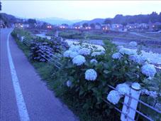 下新町通りの紫陽花