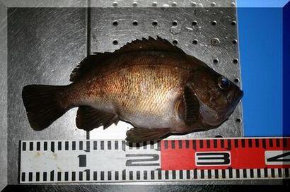 2008.8.3 メバル32cm