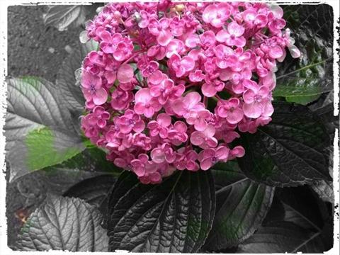 紫陽花が綺麗な季節の鎌倉です