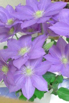 花言葉は精神の美