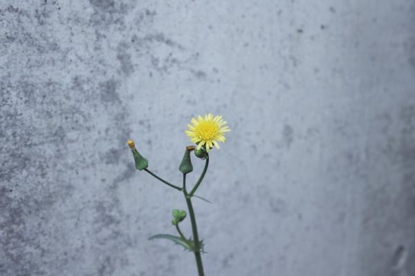 秋に咲くタンポポ