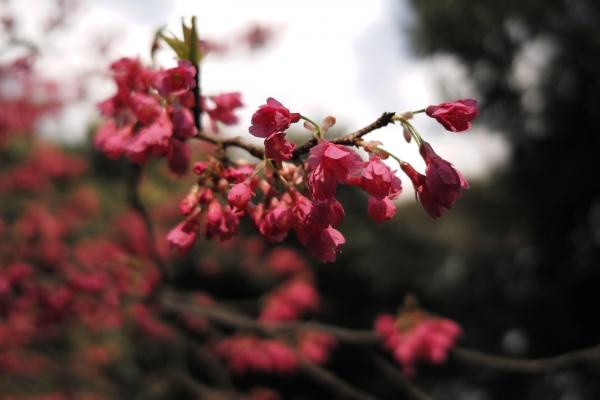 寒緋桜=緋寒桜
